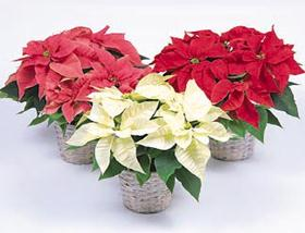 POINSETTIA PLANT DELIVERY